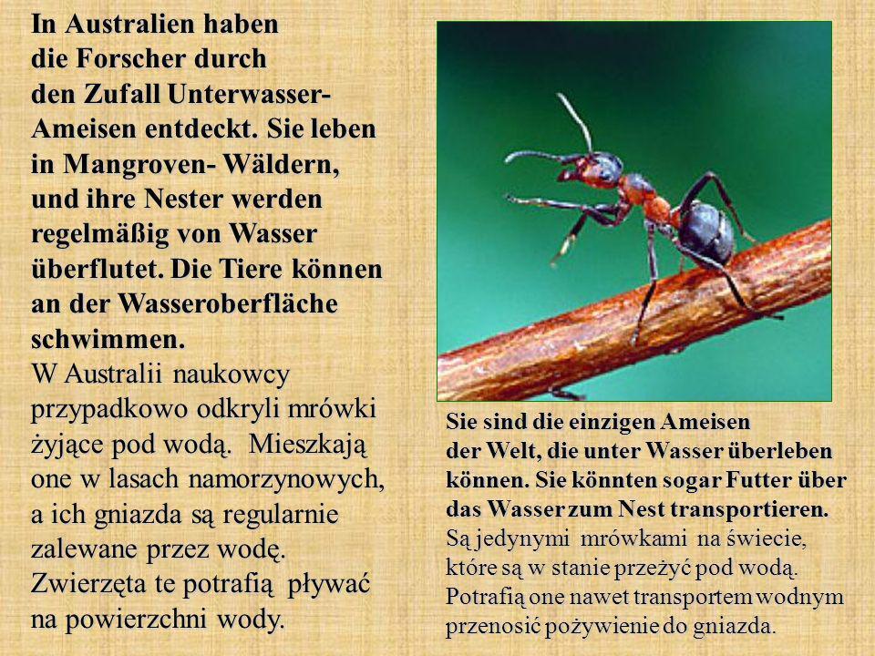 In Australien haben die Forscher durch den Zufall Unterwasser- Ameisen entdeckt. Sie leben in Mangroven- Wäldern, und ihre Nester werden regelmäßig von Wasser überflutet. Die Tiere können an der Wasseroberfläche schwimmen. W Australii naukowcy przypadkowo odkryli mrówki żyjące pod wodą. Mieszkają one w lasach namorzynowych, a ich gniazda są regularnie zalewane przez wodę. Zwierzęta te potrafią pływać na powierzchni wody.