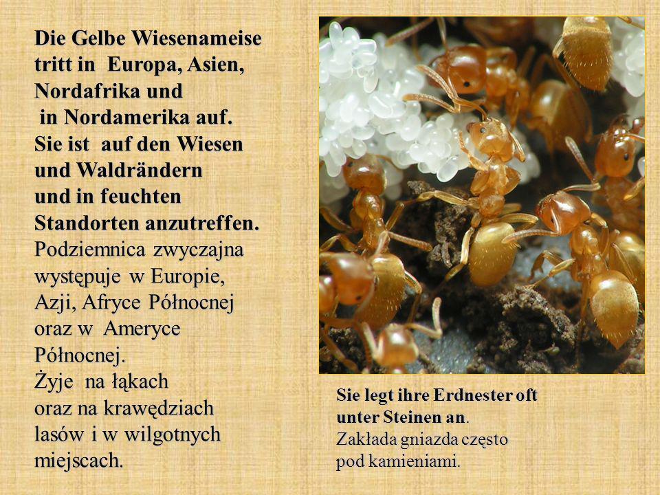 Die Gelbe Wiesenameise tritt in Europa, Asien, Nordafrika und in Nordamerika auf. Sie ist auf den Wiesen und Waldrändern und in feuchten Standorten anzutreffen. Podziemnica zwyczajna występuje w Europie, Azji, Afryce Północnej oraz w Ameryce Północnej. Żyje na łąkach oraz na krawędziach lasów i w wilgotnych miejscach.