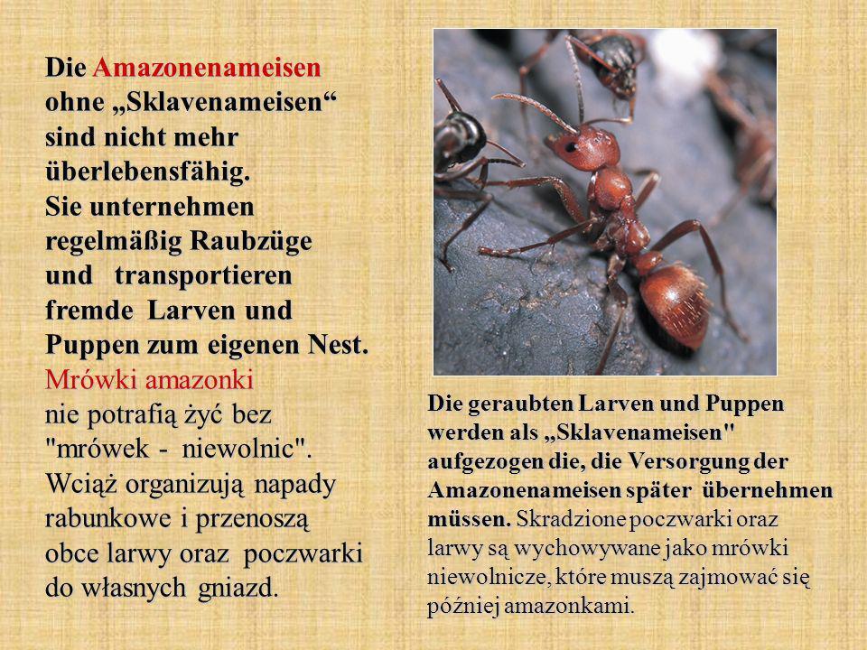 """Die Amazonenameisen ohne """"Sklavenameisen sind nicht mehr überlebensfähig. Sie unternehmen regelmäßig Raubzüge und transportieren fremde Larven und Puppen zum eigenen Nest. Mrówki amazonki nie potrafią żyć bez mrówek - niewolnic . Wciąż organizują napady rabunkowe i przenoszą obce larwy oraz poczwarki do własnych gniazd."""