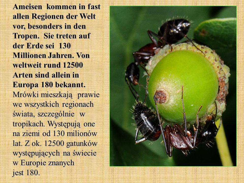 Ameisen kommen in fast allen Regionen der Welt vor, besonders in den Tropen.