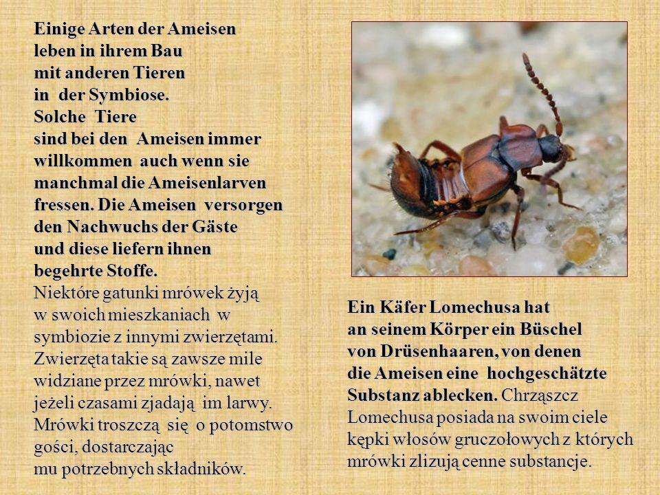 Einige Arten der Ameisen leben in ihrem Bau mit anderen Tieren in der Symbiose. Solche Tiere sind bei den Ameisen immer willkommen auch wenn sie manchmal die Ameisenlarven fressen. Die Ameisen versorgen den Nachwuchs der Gäste und diese liefern ihnen begehrte Stoffe. Niektóre gatunki mrówek żyją w swoich mieszkaniach w symbiozie z innymi zwierzętami. Zwierzęta takie są zawsze mile widziane przez mrówki, nawet jeżeli czasami zjadają im larwy. Mrówki troszczą się o potomstwo gości, dostarczając mu potrzebnych składników.