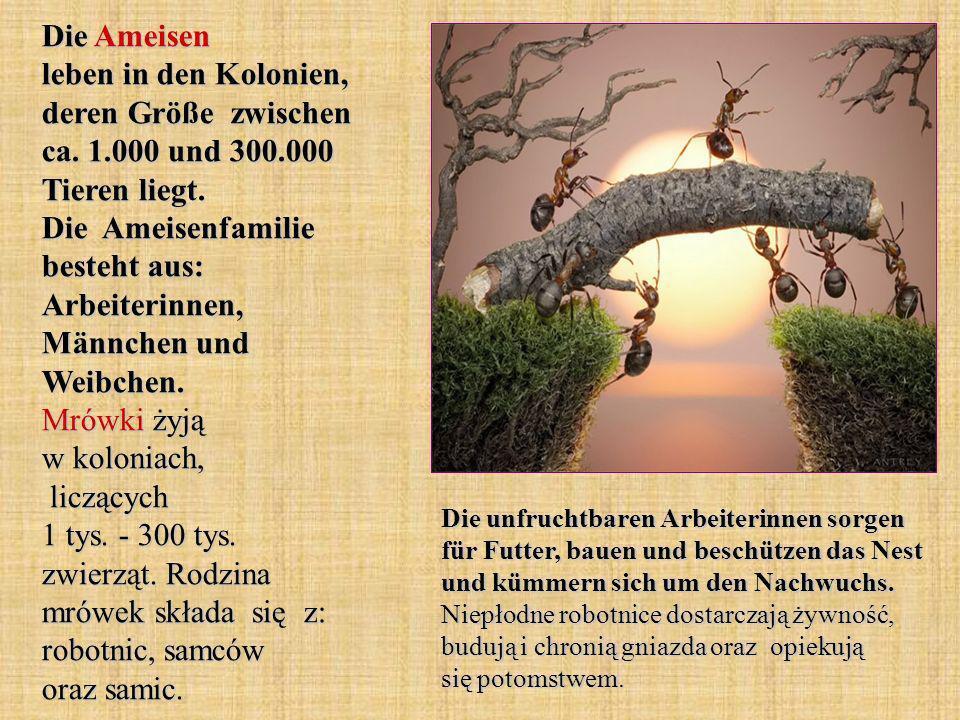 Die Ameisen leben in den Kolonien, deren Größe zwischen ca. 1