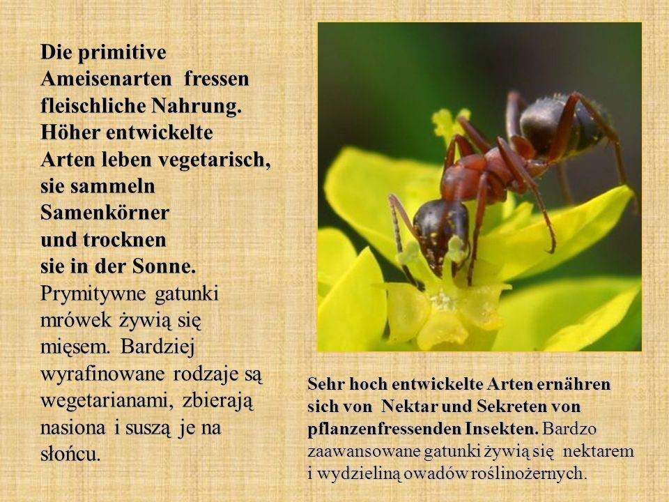 Die primitive Ameisenarten fressen fleischliche Nahrung