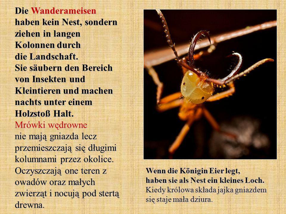Die Wanderameisen haben kein Nest, sondern ziehen in langen Kolonnen durch die Landschaft. Sie säubern den Bereich von Insekten und Kleintieren und machen nachts unter einem Holzstoß Halt. Mrówki wędrowne nie mają gniazda lecz przemieszczają się długimi kolumnami przez okolice. Oczyszczają one teren z owadów oraz małych zwierząt i nocują pod stertą drewna.