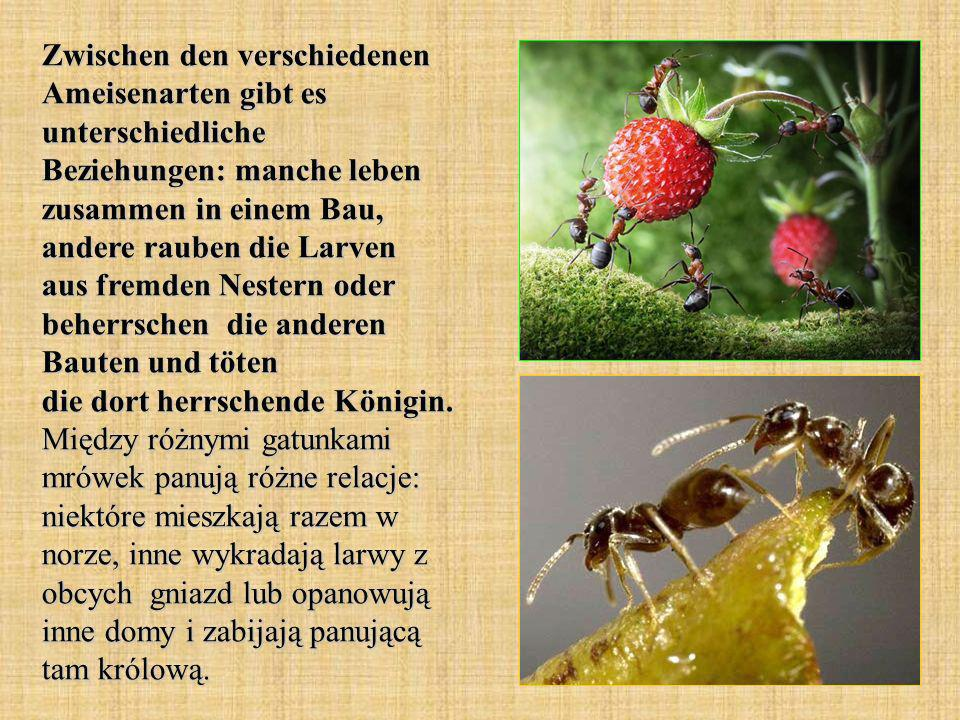 Zwischen den verschiedenen Ameisenarten gibt es unterschiedliche Beziehungen: manche leben zusammen in einem Bau, andere rauben die Larven aus fremden Nestern oder beherrschen die anderen Bauten und töten die dort herrschende Königin.