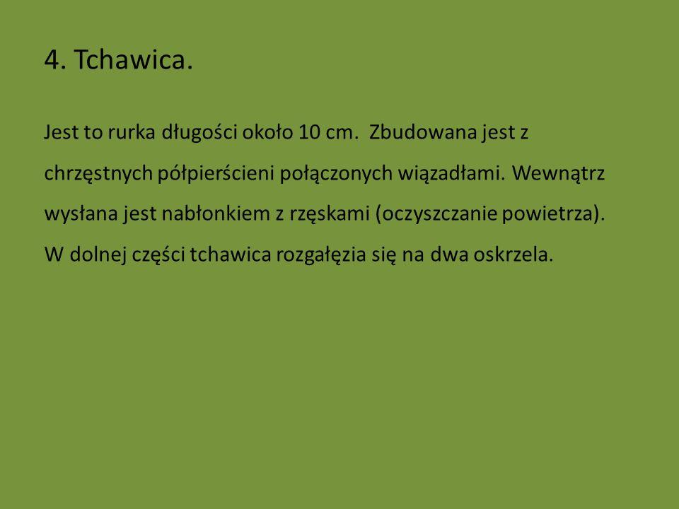 4. Tchawica.