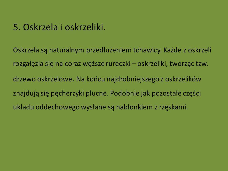 5. Oskrzela i oskrzeliki.
