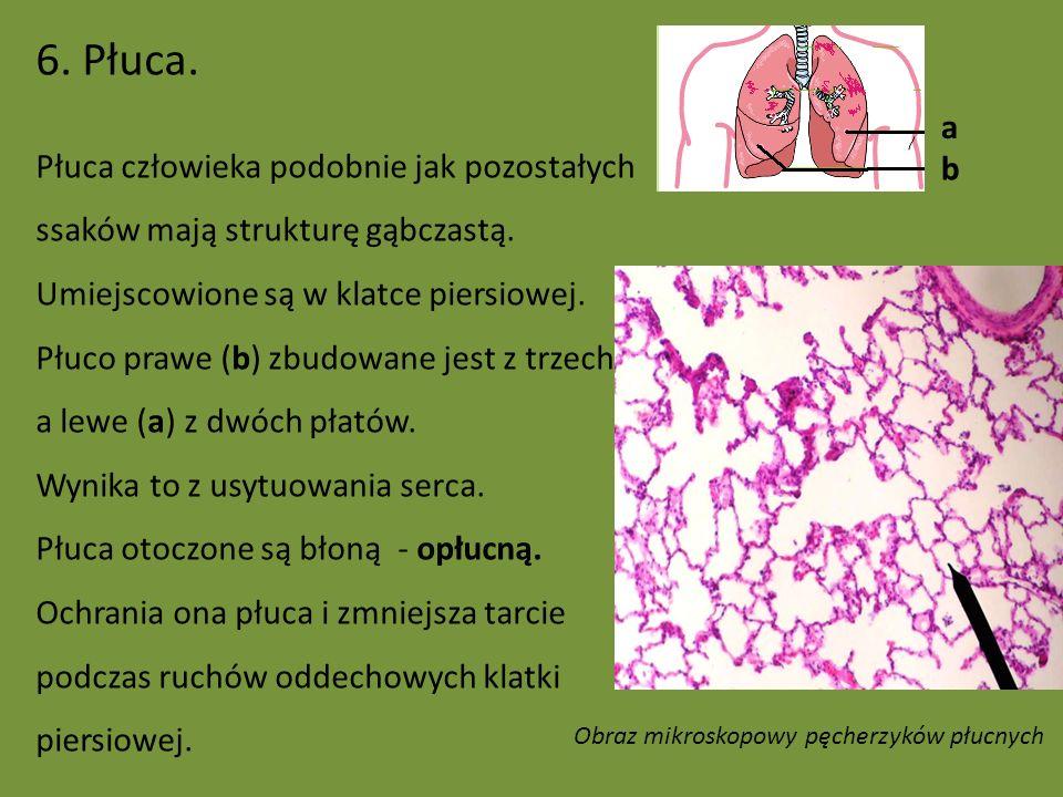 Obraz mikroskopowy pęcherzyków płucnych