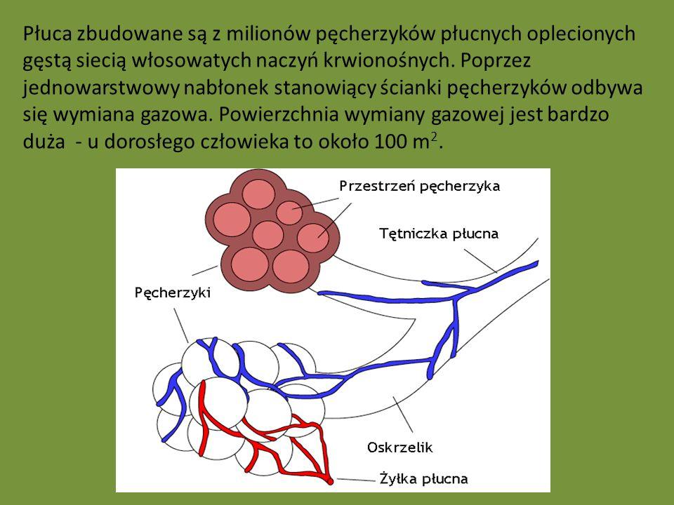 Płuca zbudowane są z milionów pęcherzyków płucnych oplecionych gęstą siecią włosowatych naczyń krwionośnych.