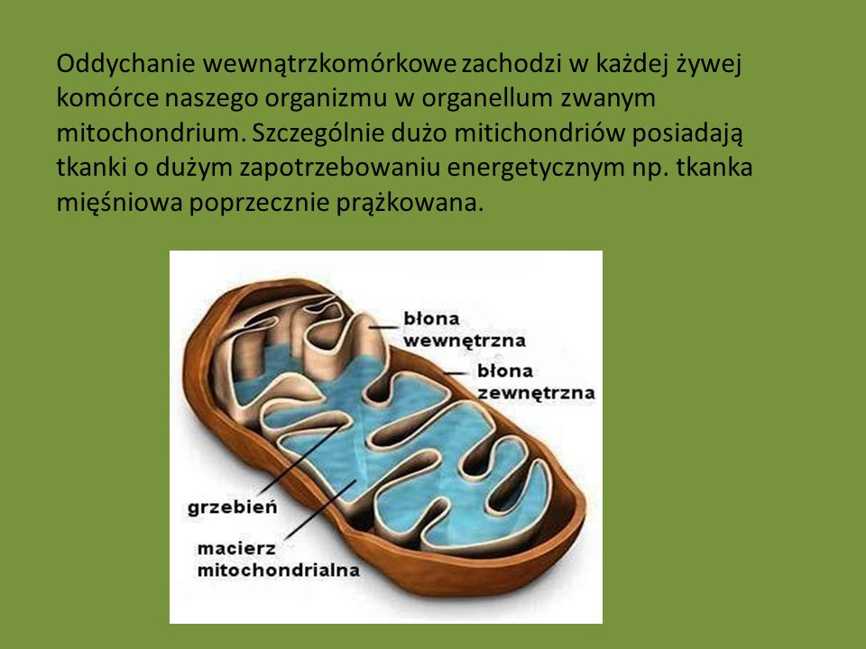 Oddychanie wewnątrzkomórkowe zachodzi w każdej żywej komórce naszego organizmu w organellum zwanym mitochondrium.