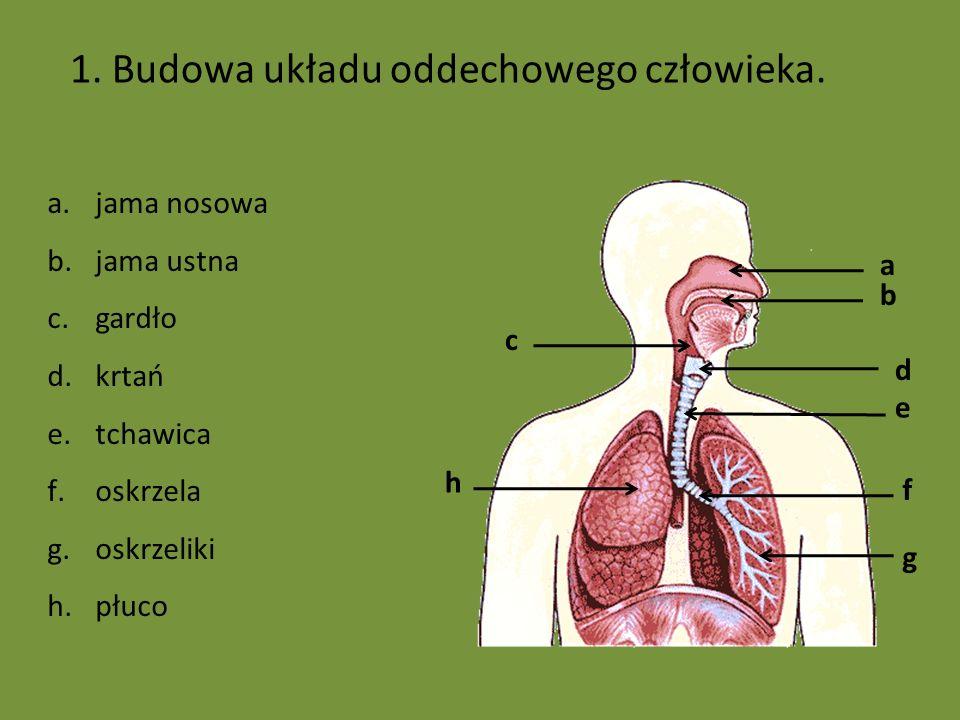 1. Budowa układu oddechowego człowieka.
