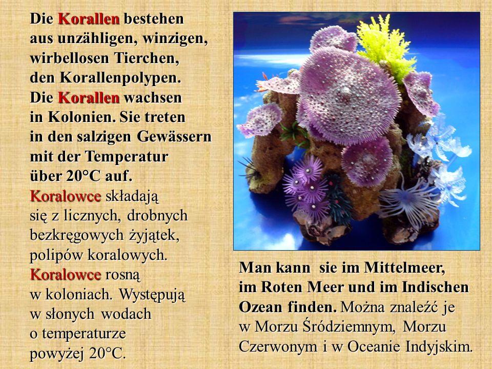 Die Korallen bestehen aus unzähligen, winzigen, wirbellosen Tierchen, den Korallenpolypen. Die Korallen wachsen in Kolonien. Sie treten in den salzigen Gewässern mit der Temperatur über 20°C auf. Koralowce składają się z licznych, drobnych bezkręgowych żyjątek, polipów koralowych. Koralowce rosną w koloniach. Występują w słonych wodach o temperaturze powyżej 20°C.