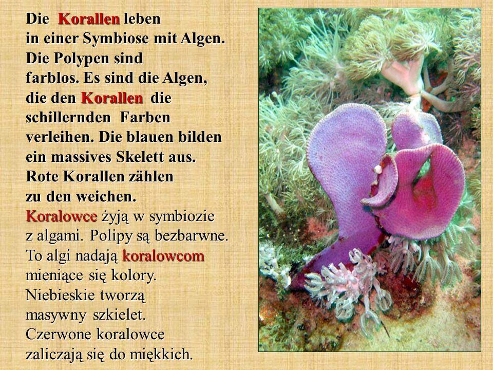 Die Korallen leben in einer Symbiose mit Algen