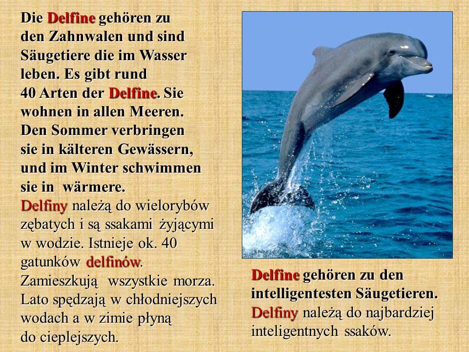 Die Delfine gehören zu den Zahnwalen und sind Säugetiere die im Wasser leben. Es gibt rund 40 Arten der Delfine. Sie wohnen in allen Meeren. Den Sommer verbringen sie in kälteren Gewässern, und im Winter schwimmen sie in wärmere. Delfiny należą do wielorybów zębatych i są ssakami żyjącymi w wodzie. Istnieje ok. 40 gatunków delfinów. Zamieszkują wszystkie morza. Lato spędzają w chłodniejszych wodach a w zimie płyną do cieplejszych.