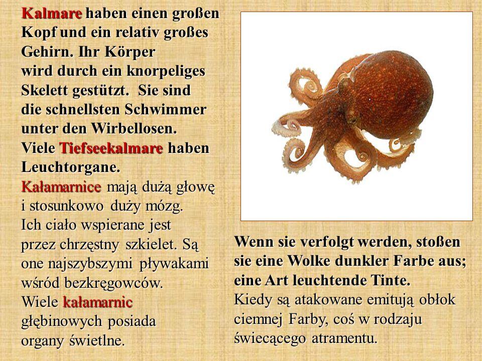 Kalmare haben einen großen Kopf und ein relativ großes Gehirn
