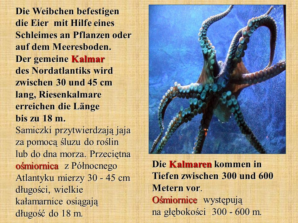 Die Weibchen befestigen die Eier mit Hilfe eines Schleimes an Pflanzen oder auf dem Meeresboden. Der gemeine Kalmar des Nordatlantiks wird zwischen 30 und 45 cm lang, Riesenkalmare erreichen die Länge bis zu 18 m. Samiczki przytwierdzają jaja za pomocą śluzu do roślin lub do dna morza. Przeciętna ośmiornica z Północnego Atlantyku mierzy 30 - 45 cm długości, wielkie kałamarnice osiągają długość do 18 m.