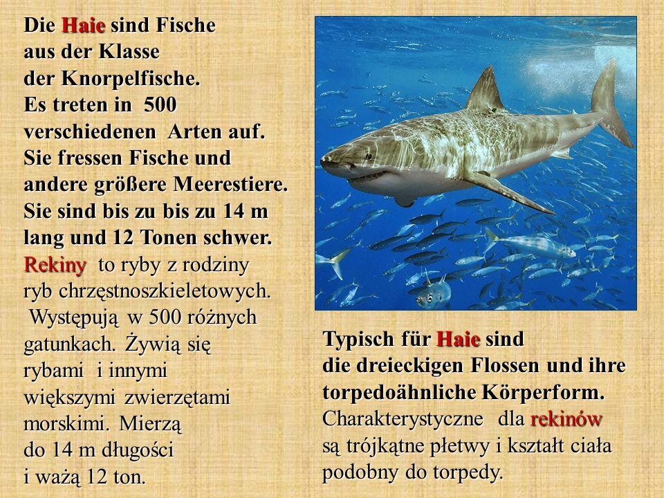 Die Haie sind Fische aus der Klasse der Knorpelfische
