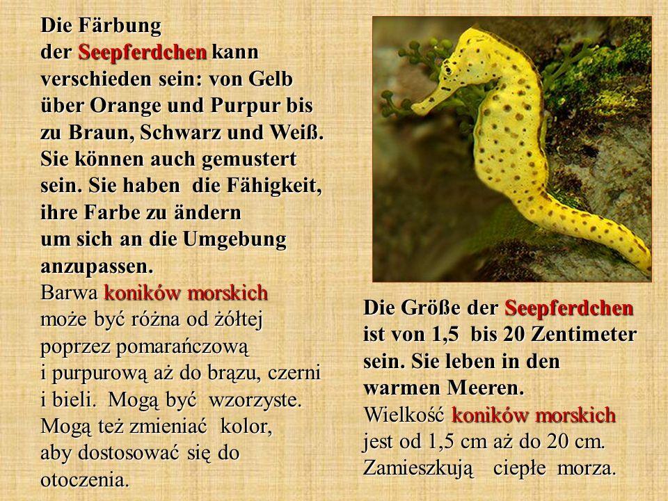 Die Färbung der Seepferdchen kann verschieden sein: von Gelb über Orange und Purpur bis zu Braun, Schwarz und Weiß. Sie können auch gemustert sein. Sie haben die Fähigkeit, ihre Farbe zu ändern um sich an die Umgebung anzupassen. Barwa koników morskich może być różna od żółtej poprzez pomarańczową i purpurową aż do brązu, czerni i bieli. Mogą być wzorzyste. Mogą też zmieniać kolor, aby dostosować się do otoczenia.