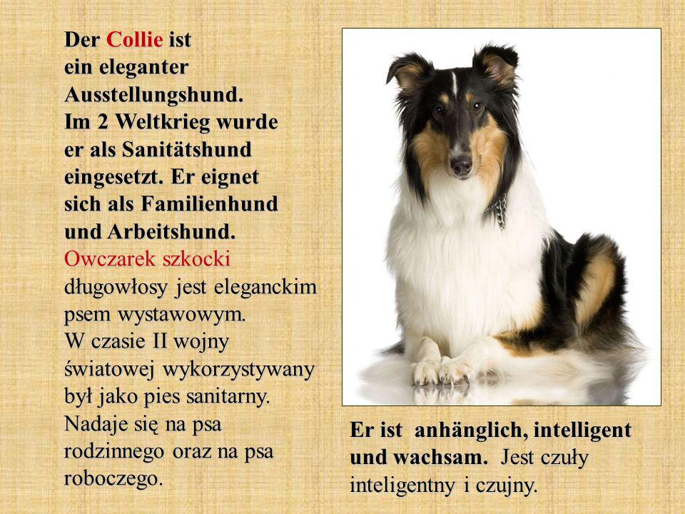 Der Collie ist ein eleganter Ausstellungshund