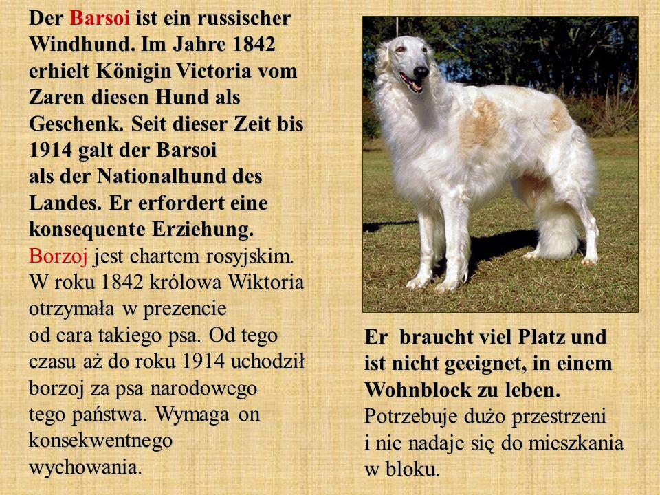 Der Barsoi ist ein russischer Windhund