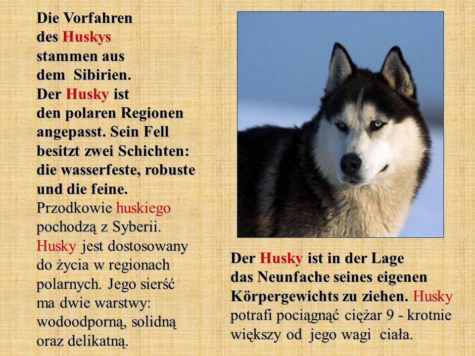 Die Vorfahren des Huskys stammen aus dem Sibirien