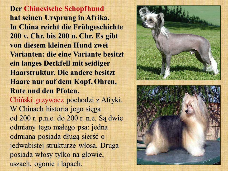 Der Chinesische Schopfhund hat seinen Ursprung in Afrika