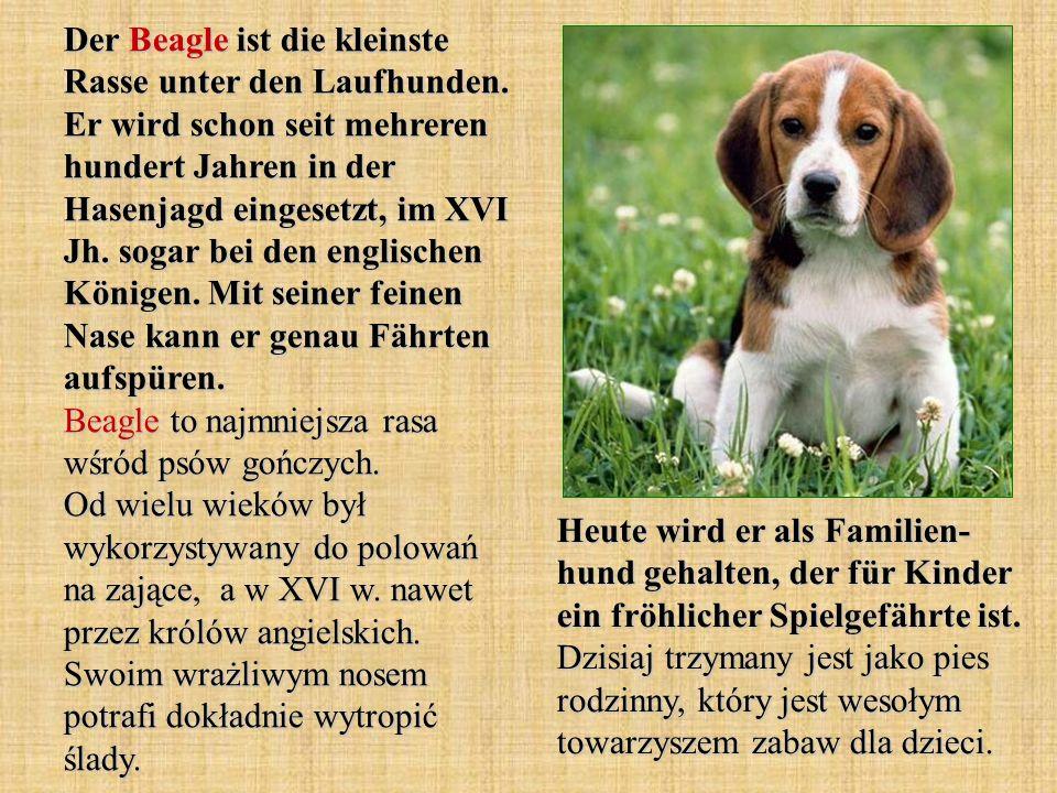 Der Beagle ist die kleinste Rasse unter den Laufhunden