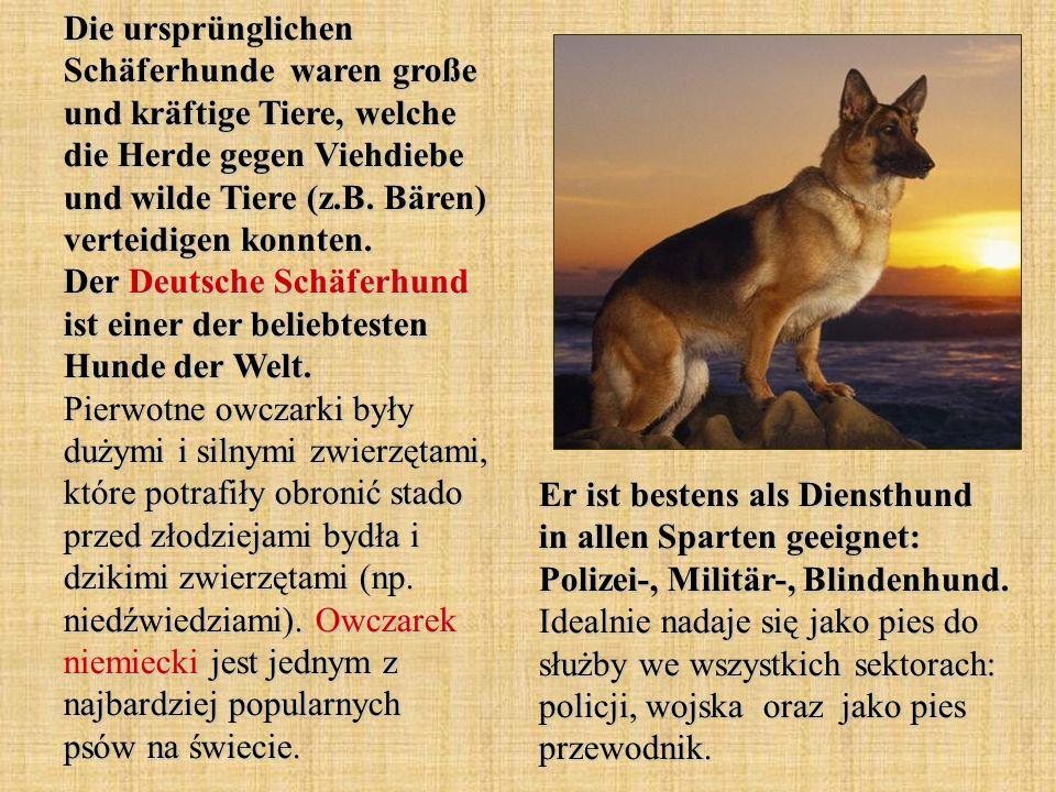 Die ursprünglichen Schäferhunde waren große und kräftige Tiere, welche die Herde gegen Viehdiebe und wilde Tiere (z.B. Bären) verteidigen konnten. Der Deutsche Schäferhund ist einer der beliebtesten Hunde der Welt. Pierwotne owczarki były dużymi i silnymi zwierzętami, które potrafiły obronić stado przed złodziejami bydła i dzikimi zwierzętami (np. niedźwiedziami). Owczarek niemiecki jest jednym z najbardziej popularnych psów na świecie.