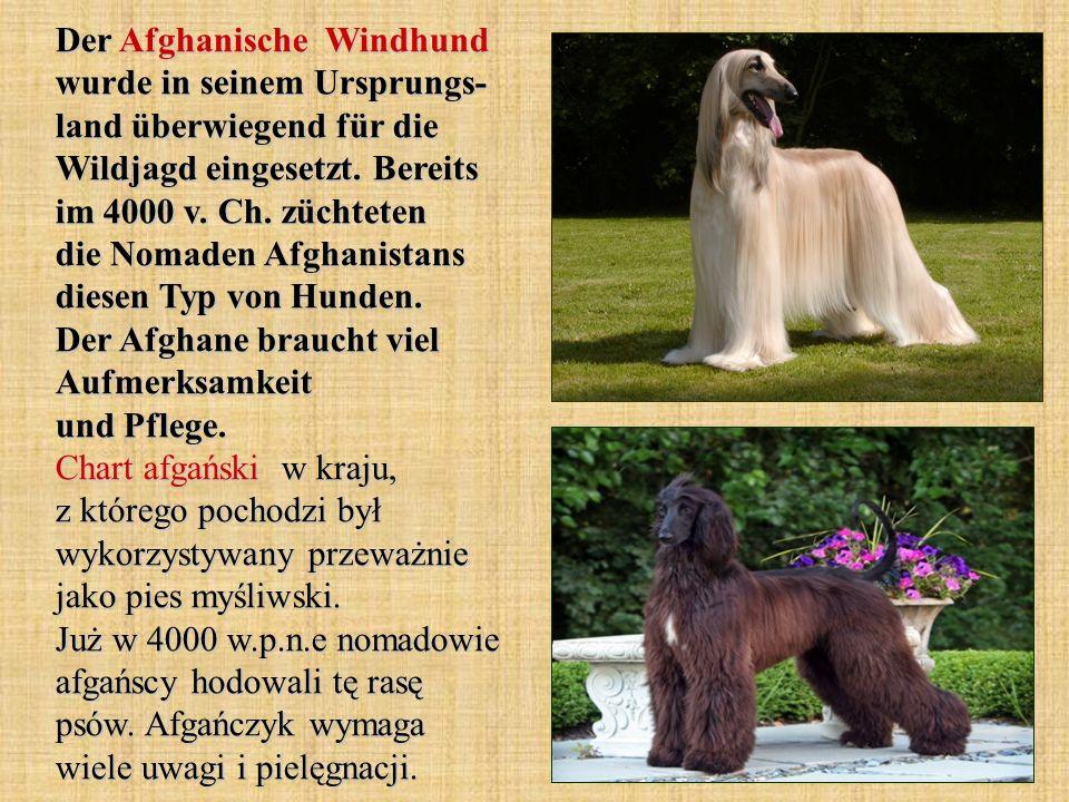 Der Afghanische Windhund wurde in seinem Ursprungs- land überwiegend für die Wildjagd eingesetzt.