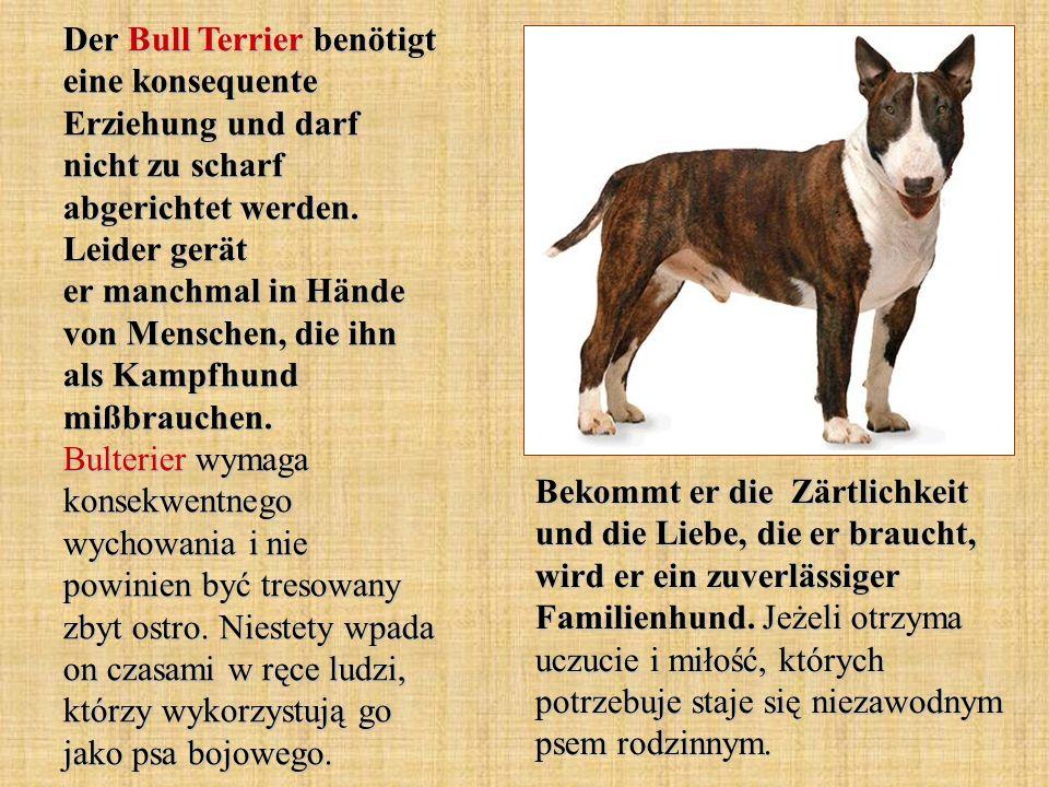 Der Bull Terrier benötigt eine konsequente Erziehung und darf nicht zu scharf abgerichtet werden. Leider gerät er manchmal in Hände von Menschen, die ihn als Kampfhund mißbrauchen. Bulterier wymaga konsekwentnego wychowania i nie powinien być tresowany zbyt ostro. Niestety wpada on czasami w ręce ludzi, którzy wykorzystują go jako psa bojowego.