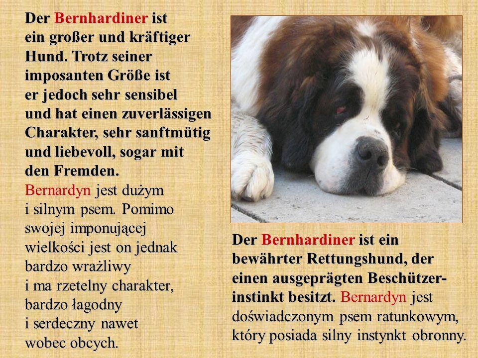 Der Bernhardiner ist ein großer und kräftiger Hund