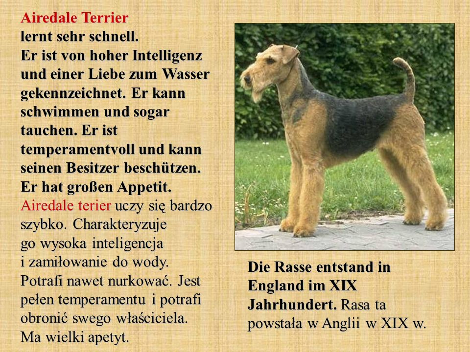 Airedale Terrier lernt sehr schnell