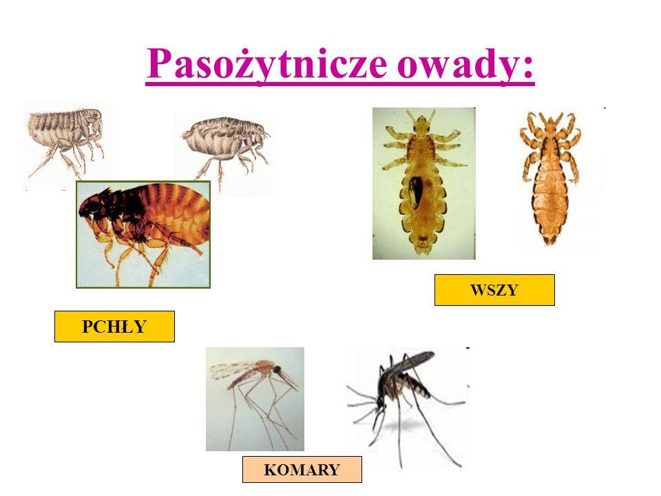 Pasożytnicze owady: WSZY PCHŁY KOMARY