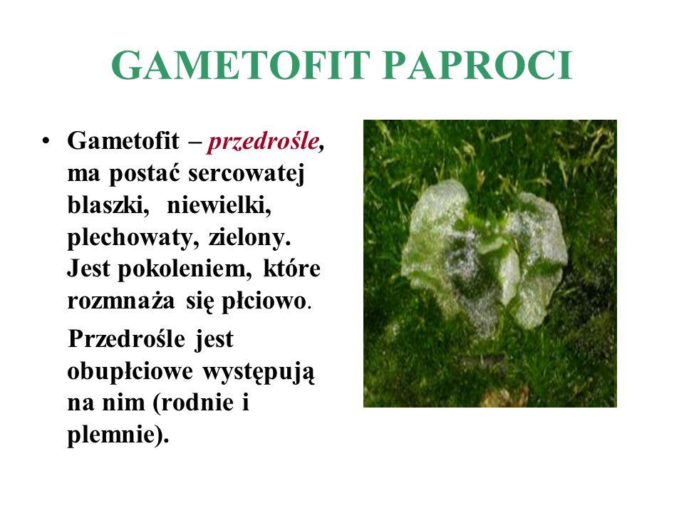GAMETOFIT PAPROCI Gametofit – przedrośle, ma postać sercowatej blaszki, niewielki, plechowaty, zielony. Jest pokoleniem, które rozmnaża się płciowo.
