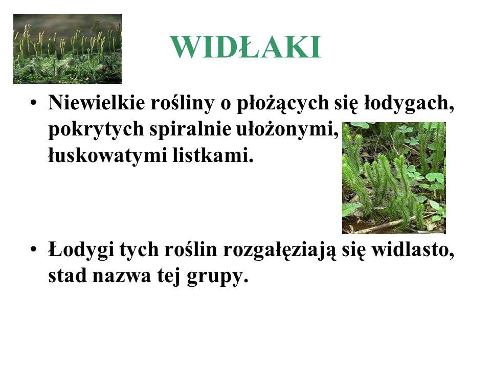 WIDŁAKI Niewielkie rośliny o płożących się łodygach, pokrytych spiralnie ułożonymi, łuskowatymi listkami.