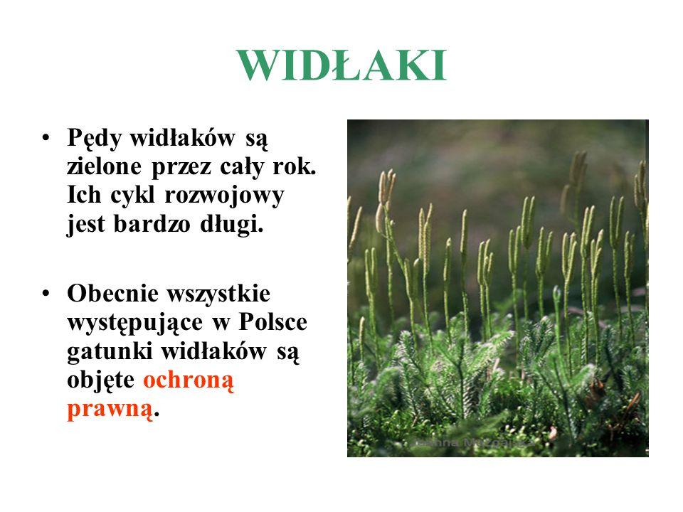 WIDŁAKI Pędy widłaków są zielone przez cały rok. Ich cykl rozwojowy jest bardzo długi.
