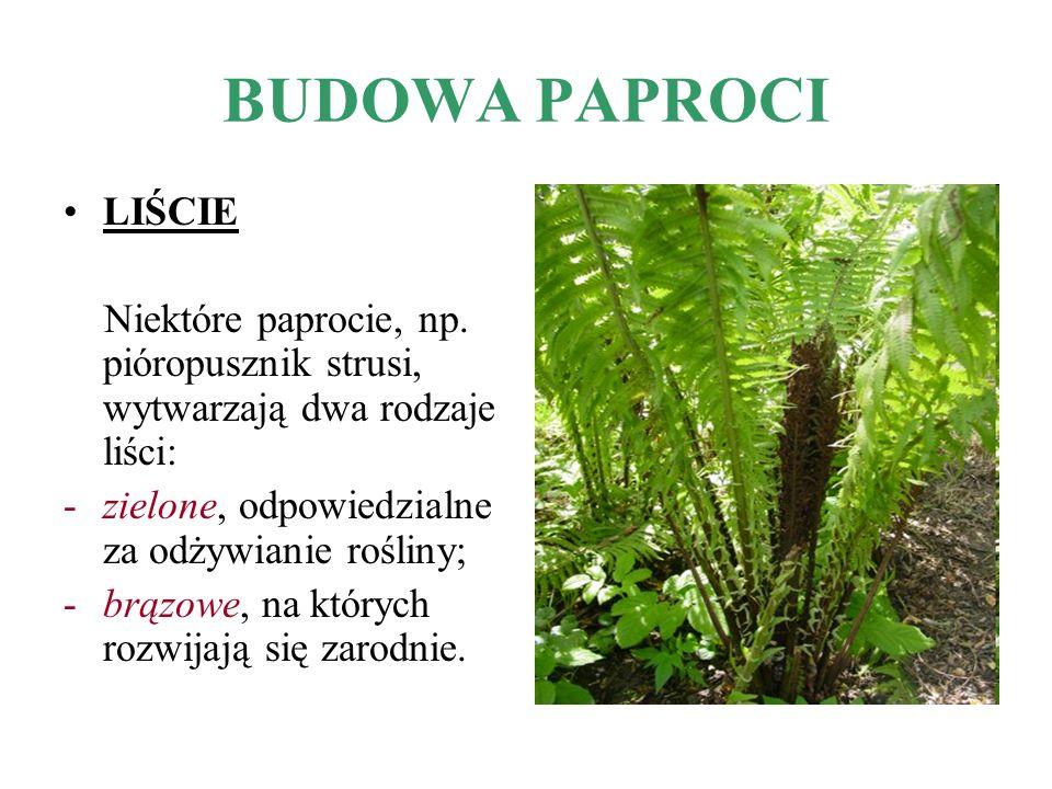 BUDOWA PAPROCI LIŚCIE. Niektóre paprocie, np. pióropusznik strusi, wytwarzają dwa rodzaje liści: zielone, odpowiedzialne za odżywianie rośliny;