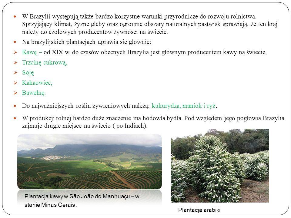 Na brazylijskich plantacjach uprawia się głównie: