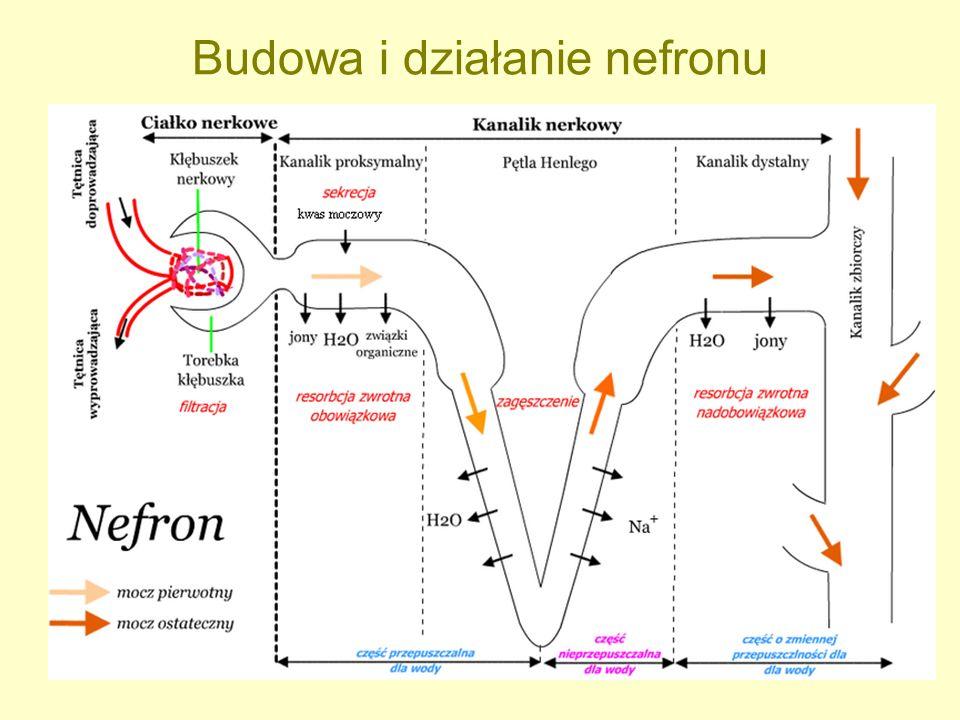 Budowa i działanie nefronu