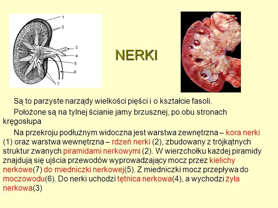 NERKI Są to parzyste narządy wielkości pięści i o kształcie fasoli.