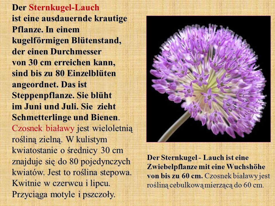 Der Sternkugel-Lauch ist eine ausdauernde krautige Pflanze
