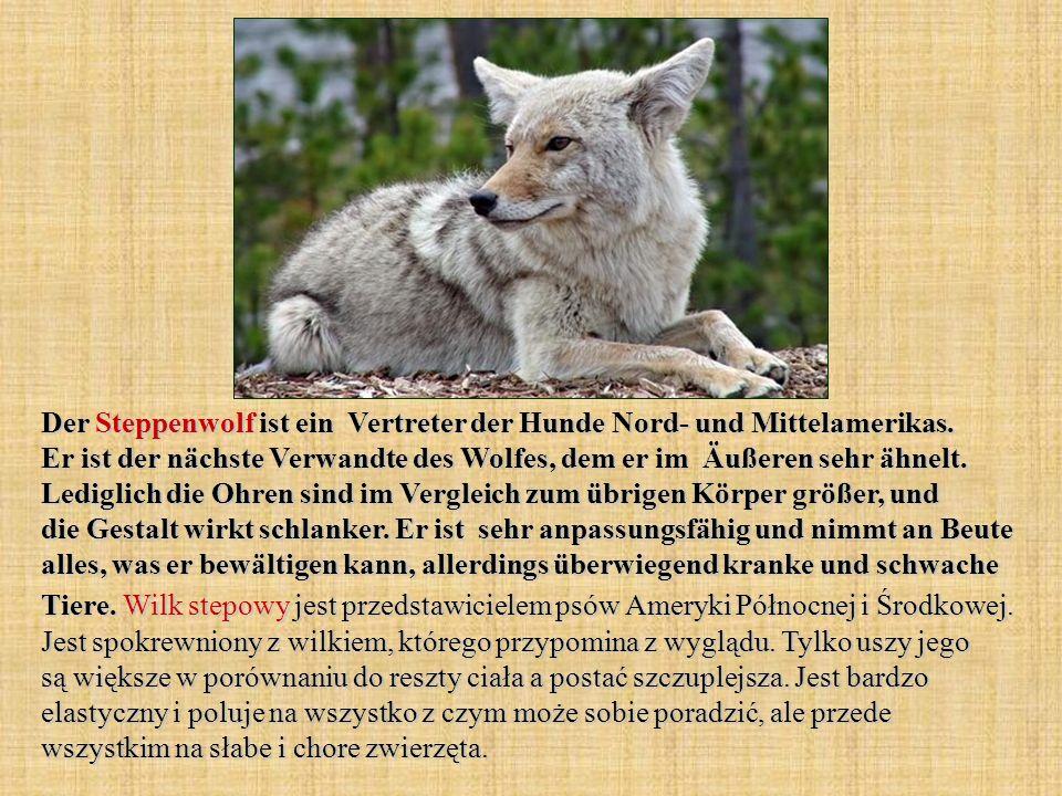 Der Steppenwolf ist ein Vertreter der Hunde Nord- und Mittelamerikas