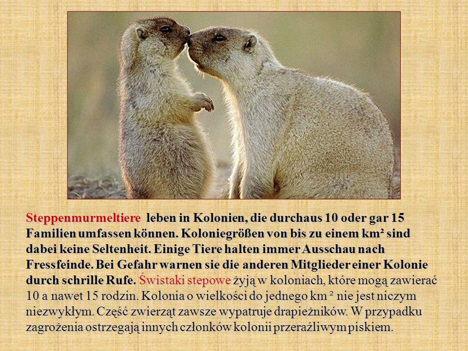 Steppenmurmeltiere leben in Kolonien, die durchaus 10 oder gar 15 Familien umfassen können.