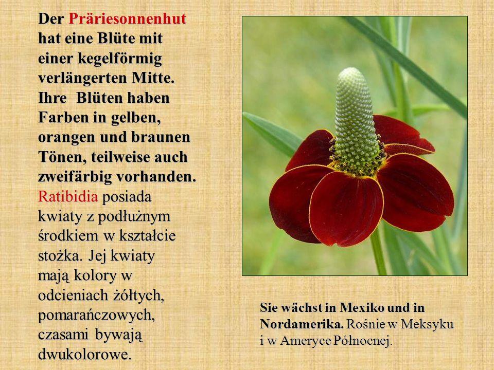 Der Präriesonnenhut hat eine Blüte mit einer kegelförmig verlängerten Mitte. Ihre Blüten haben Farben in gelben, orangen und braunen Tönen, teilweise auch zweifärbig vorhanden. Ratibidia posiada kwiaty z podłużnym środkiem w kształcie stożka. Jej kwiaty mają kolory w odcieniach żółtych, pomarańczowych, czasami bywają dwukolorowe.