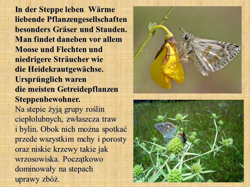 In der Steppe leben Wärme liebende Pflanzengesellschaften besonders Gräser und Stauden.
