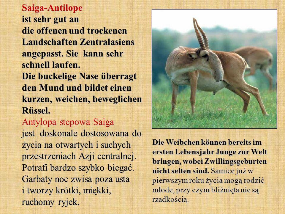 Saiga-Antilope ist sehr gut an die offenen und trockenen Landschaften Zentralasiens angepasst. Sie kann sehr schnell laufen. Die buckelige Nase überragt den Mund und bildet einen kurzen, weichen, beweglichen Rüssel. Antylopa stepowa Saiga jest doskonale dostosowana do życia na otwartych i suchych przestrzeniach Azji centralnej. Potrafi bardzo szybko biegać. Garbaty noc zwisa poza usta i tworzy krótki, miękki, ruchomy ryjek.