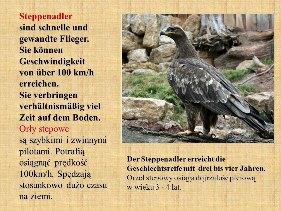Steppenadler sind schnelle und gewandte Flieger