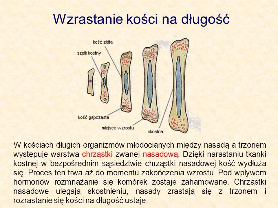 Wzrastanie kości na długość