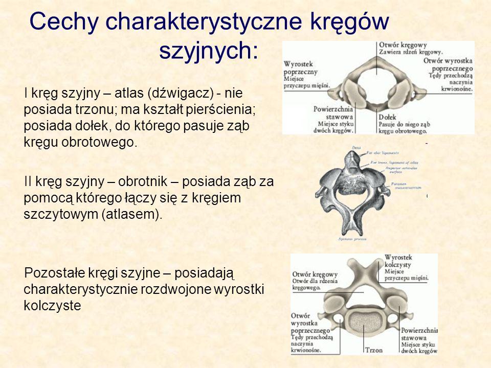 Cechy charakterystyczne kręgów szyjnych: