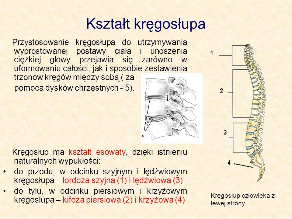 Kształt kręgosłupa